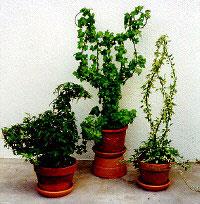 Tabletop Topiary